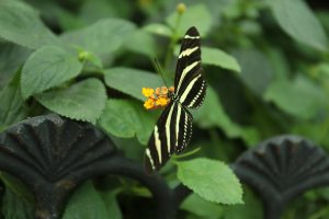 Mackinac Island is home to two butterfly conservatories including Wings of Mackinac and The Original Butterfly House.